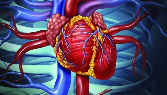 cardiovascular_human_heart_crop