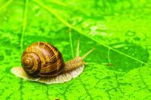 Garden Snail on green leaf